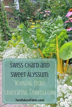"""Swiss chard and sweet alyssum make a beautiful combination in the edible landscape. But this combination goes beyond """"pretty"""". Sweet alyssum is a workhorse, helping to grow a more productive landscape with less work."""