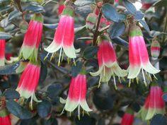 Detailed description of the Native Fuchsia (Correa) 'Canberra Bells' cultivar/variety. Shade Flowers, Shade Plants, All Plants, Garden Plants, Purple Flowers, Cream Flowers, Shade Shrubs, Dry Garden, Exotic Plants
