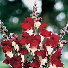 Brassy Scarlet-and-White Bicolor -- A Descendant of the Renowned Black Prince! Annuals