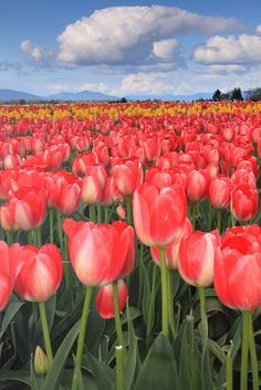 Tulips in Skagit Valley-oh i love this