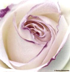 Rose - B & W - 14 - Ajaytao