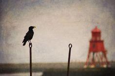 fish quay crow