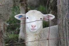 Sheep / Meh~