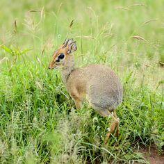 Serengeti Kangaroo, Africa, Animals, Baby Bjorn, Animaux, Animal, Animales, Afro, Kangaroos
