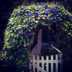 Morning glory gate #garden #beauty #beautiful #flower #flowerstagram #nature #naturelover #outdoors #plant