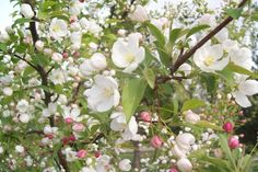The apple tree near Countryside House at Interlaken produces apples great for baking Apple Tree Blossoms, Tree People, Magnolia Trees, Monarch Butterfly, Dream Garden, Exterior Design, Orchids, Outdoor Living, Apples