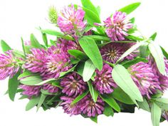 the health benefits of red clover