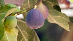Hay muchos motivos por lo cuales podemos tener una higuera, como, por ejemplo, por sus ricos frutos. Sin embargo, existen algunos cuidados de la higuera que son escenciales para sacar provecho de éste maravilloso árbol. Veamos a continuación qué clase de cuidados debemos brindarle para con