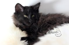 Black Norwegian Forest Cat kitten