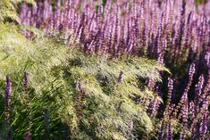 Plymer – Silvergräs, Stipa calamagrostis, får härligt mjuka och silverfärgade plymer redan i juni. Längre fram övergår de till en mer brunröd färg. Det här är ett prydnadsgräs som föredrar en torr och solig växtplats. Med blomplymer blir det ca 90 cm högt men faller över som syns på bilden. Det blir ofta effektfullt om sällskapet är det rätta som till exempel här i Drömparken där det växer bredvid stäppsalvia Salvia nemorosa 'Amethyst'. Silvergräs är halvhärdigt. C/c-avstånd: 45 cm. Stipa, Salvia, Amethyst, Juni, Flowers, Plants, Gardens, Photo Illustration, Florals