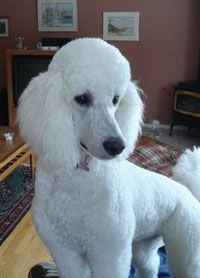 good proportions of short and long. #poodle