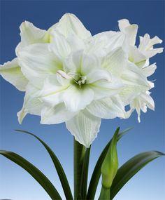 Amaryllis White Nymph - Royal Dutch Double Amaryllis - Amaryllis - Flower Bulb Index Pretty Flowers, White Flowers, Flower Pots, Daffodils, Bulb Flowers, Amazing Flowers, Beautiful Flowers, Amaryllis Flowers, Love Flowers