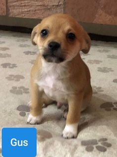 Chihuahua and Pug mixed Dog for Adoption in Las Vegas, Nevada - Goldie's Gus in Las Vegas, Nevada Rescue Dogs For Adoption, Chihuahua Rescue, Pug Mix, Las Vegas Nevada, Animal Shelter, Pugs, Dogs And Puppies, Labrador Retriever, Hate People