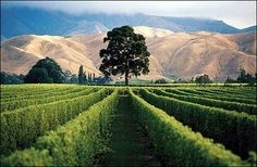 Stoneleigh vineyard in New Zealand's Marlborough region