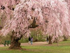 Cherry blossoms at Branch Brook Park April 2016