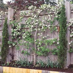 Espalier -- an old French way of growing trees on a horizontal plane -- looks and sounds complicated, but is actually pretty simple. You can also espalier citrus. Espalier Fruit Trees, Small Space Gardening, Garden Trees, Fence Garden, Moon Garden, Growing Tree, Growing Plants, Edible Garden, Fruit Garden