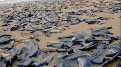 News - Millions of jellyfish-like ceatures called velella velella take over U.S. west coast beaches - The Weather Network