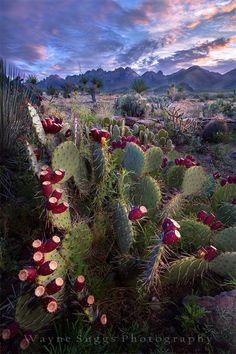 New Mexico cactus Nature Landscape, Landscape Photos, Landscape Photography, Nature Photography, Mountain Photography, Cacti And Succulents, Planting Succulents, Cactus Plants, Planting Flowers