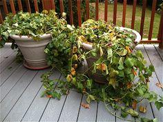 """The Garden of Eaden: HOW TO GROW SWEET POTATOES in containers --- 3 slips in 18"""" pot"""