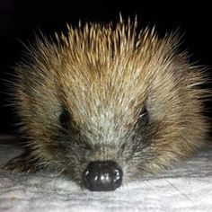 Hedgehog in the care of WRAS Whitesmith, East Sussex