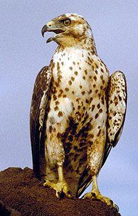 Galapagos Hawk, James Bay, Galapagos