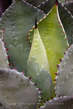 Agave Potatorum found in Mexico and the desert southwest of the US.