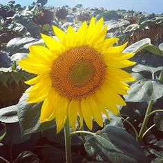 #sonnenblume Photo And Video, Plants, Instagram, Sunflowers, Plant, Planets