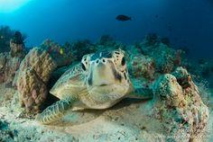 Green sea turtle Green Turtle, Chelonia mydas
