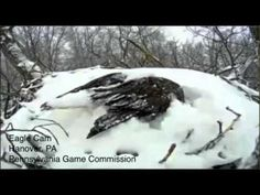 Shake it off: Bald Eagle Cam captures bird uncovering snow today « Just In Weather