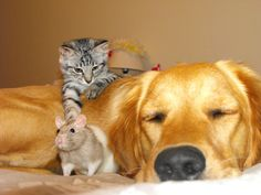 Karma the crazy Golden with her new kitten Gizmo and my rat Cinnamon which Karma thinks is hers.