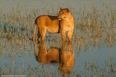 Matusadona Lion Project