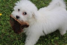 Cotton Tulear puppy