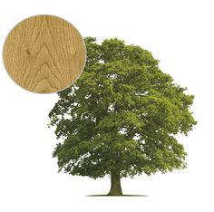 dab_drzewo