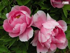 peony flowers - Google Search