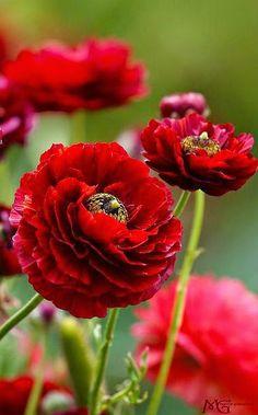 Red Ranunculus - by Marcie Gonzalez.... Found on Flickr...