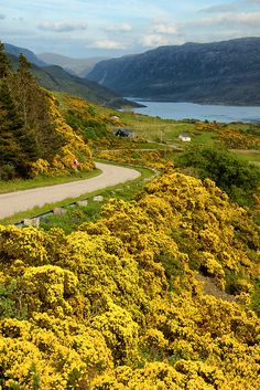 Scotland....the yellow grosse (spelling?) cover the hillsides