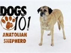 I <3 my anatolian shepherd!!~ Dogs 101 - Anatolian Shepherd