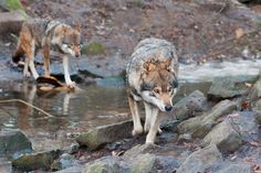 The Eurasian wolf (Canis lupus lupus), also known as the European, common, or forest wolf, is a subspecies of gray wolf. They are so hunted down in the Netherlands, that they are extinct, now we can only see them in a zoo or wildpark like this one.