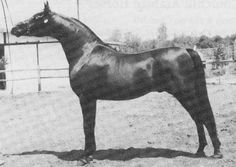 EKLIPSE (Kaiyoum x Big Sky Easterbun, by Tonza) 1983 dark bay CMK stallion bred by Tom & Dorothy Johnson