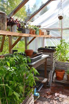 Tomaattien istutus