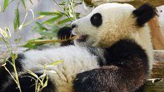 Toronto Zoo giant panda cubs