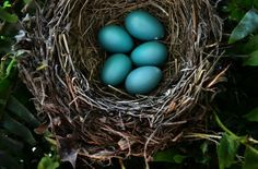 """""""Newly laid robin eggs lay undisturbed in porch fern in Prince Frederick. The turqoise eggs were laid about a week earlier, with a doting mother leaving the nest only for a few minutes to feed nearby."""" - Photographer Linda Davidson"""