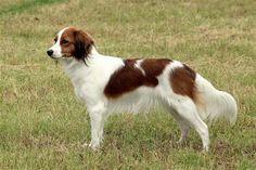 Kooikerhondje | Dog Coat Colors and Patterns for Various Dog Breeds