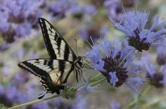 CA native: A pale Swallowtail butterfly on a Salvia clevelandii alpine. Spring Landscape, Landscape Design, Front Yard Plants, California Native Plants, Flying Flowers, How To Attract Hummingbirds, Drought Tolerant Plants, Types Of Flowers, Flower Show