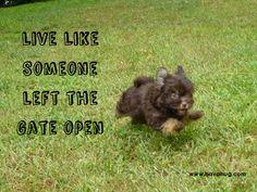 Cutest little chocolate havanese puppy! HavaHug Havanese www.havahughavanese.com