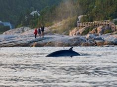 ou don't have to board a boat to see belugas and minke whales; you can spot plenty of them from the shore. The best places to observe these magnificent marine mammals in Tadoussac are Pointe-Noire (Baie-Sainte-Catherine) and Pointe-de-l'Islet (Tadoussac) at the mouth of the Saguenay Fjord, Tadoussac Bay and the top of the Tadoussac dunes (Saguenay–St. Lawrence Marine Park), as well as at the mouth of the Sainte-Marguerite River (Fjord-du-Saguenay National Park). To learn more about marine…