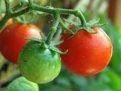 Grüne Tomaten einlegen – sind grüne Tomaten giftig?