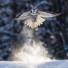 Northern hawk owl!
