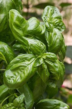 Basil Plant by Maria Bedacht - Best plants for container gardens
