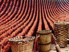 En septiembre se lleva a cabo la vendimia en muchos lugares de nuestro país. En Logroño es una fiesta que además de vino, incluyen toros y otras actividades